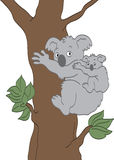 Koala Bears Stock Photo