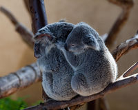Koala Bears cuddling on a branch royalty free stock photography