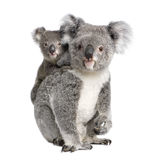 Koala bears in front of a white background. Portrait of Koala bears, 4 years old and 9 months old, Phascolarctos cinereus, in front of white background stock images