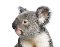 Koala bears in front of a white background royalty free stock photo