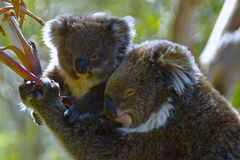 Koala Bears. On Phillip Island, VIC Australia Stock Photo