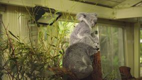 Koala bears seating on a tree. In a national park in australia stock footage