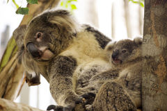 Koala bears sleeping Stock Photos