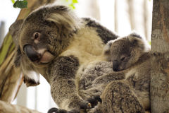 Koala bears sleeping Royalty Free Stock Photography