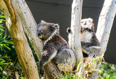 Koala bears on a tree in melbourne royalty free stock photo