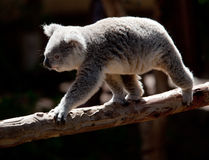 Koala Bearwalking along branch Stock Image