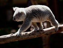Koala Bearwalking langs tak Stock Afbeelding