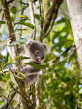 Koala: Behandla som ett barn Kokala 001 Royaltyfri Foto