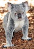 Koala-Besuch Lizenzfreie Stockfotos