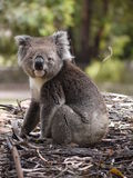 Koala betreffen Forest Floor Lizenzfreie Stockfotos
