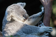 Koala bij dierentuin Stock Foto