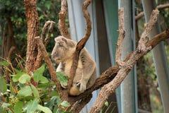 Koala bij Taronga-Dierentuin Stock Afbeelding
