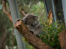 Koala bij Taronga-Dierentuin Royalty-vrije Stock Afbeelding