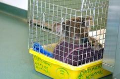 Koala blessé Photos libres de droits