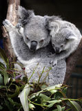 Koala bonito e filhote Fotografia de Stock Royalty Free