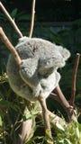 Koala in Boom Stock Foto's