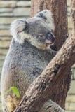 Koala in Boom, Chiangmai-Dierentuin, Thailand Royalty-vrije Stock Foto's