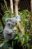 Koala on branch, eating eucalyptus. Small, female koala perched on a wooden structure and eating eucalyptus leaves, looking towards the camera; Brisbane stock images