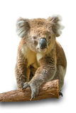 Koala on branch isolated royalty free stock photo