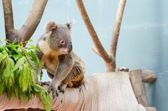 Koala on branch in safari. With Eucalyptus Stock Images
