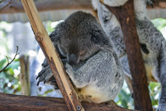 Koala in Brisbane, Queensland, Australia. A koala in Brisbane, Queensland, Australia Royalty Free Stock Photo