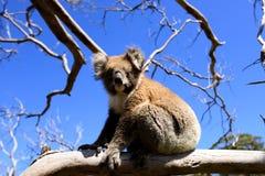Koala. Cape Otway, Great Ocean Road, Victoria, Australia Stock Photo