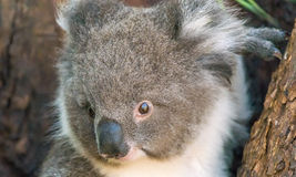 Koala in Cape Otway, Great Ocean Road, Victoria, Australia Royalty Free Stock Photography