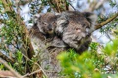 Koala carrying baby on the Great Ocean Road, Australia Royalty Free Stock Image