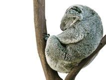 Koala che dorme nella posizione fetale isolata su bianco immagine stock libera da diritti