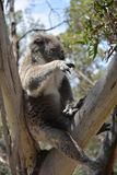 Koala che fa un pisolino via sull'albero di eucalyptus Fotografia Stock Libera da Diritti