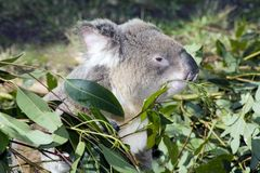 Koala che mangia un foglio della gomma Immagini Stock