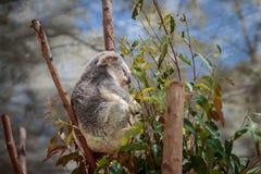 Koala che si siede nell'albero Fotografie Stock
