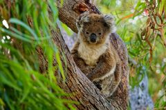 Koala - cinereus de Phascolarctos sur l'arbre dans l'Australie Photos libres de droits
