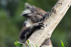Koala climb on an eucalyptus tree Stock Photo