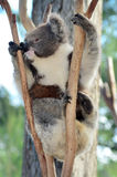 Koala climb on an eucalyptus tree Stock Photography