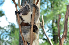 Koala climb on an eucalyptus tree Stock Images