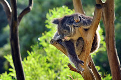 Koala climb on an eucalyptus tree Royalty Free Stock Image