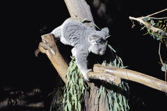 Koala climbing. Baby koala bear climbing on a tree royalty free stock photo