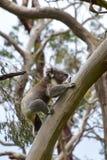 A koala climbing a eucalyptus tree in Victoria. Australia Royalty Free Stock Photography