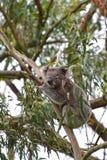 A koala climbing a eucalyptus tree in Victoria. Australia Royalty Free Stock Image