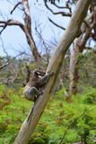 A koala climbing a eucalyptus tree in Victoria Royalty Free Stock Photo