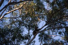 Koala climbing on the top of a eucalypt tree. At afternoon cheeky australia bear animals treetop great ocean road forest gum marsupial leaf natural eucalyptus stock photos