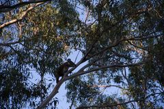 Koala climbing on the top of a eucalypt tree. At afternoon cheeky australia bear animals treetop great ocean road forest gum marsupial leaf natural eucalyptus royalty free stock photography