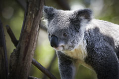 Koala climbing on a tree Royalty Free Stock Images