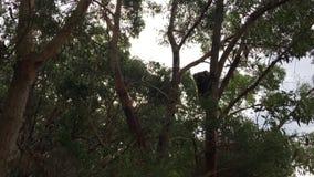 Koala climbing on a tree in Great Ocean Road Victoria Australia 03