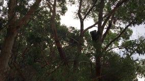 Koala climbing on a tree in Great Ocean Road Victoria Australia