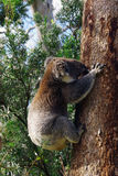 Koala. Climbing trees marsupials south Australia wildlife Animals  eucalyptus Royalty Free Stock Photo