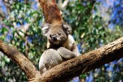 Koala. Climbing trees marsupials south Australia wildlife Animals  eucalyptus Stock Photos