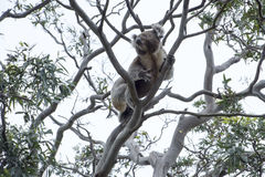 Koala climbing up tree Royalty Free Stock Image