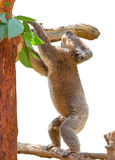 Koala on Eucalyptus  Royalty Free Stock Photos